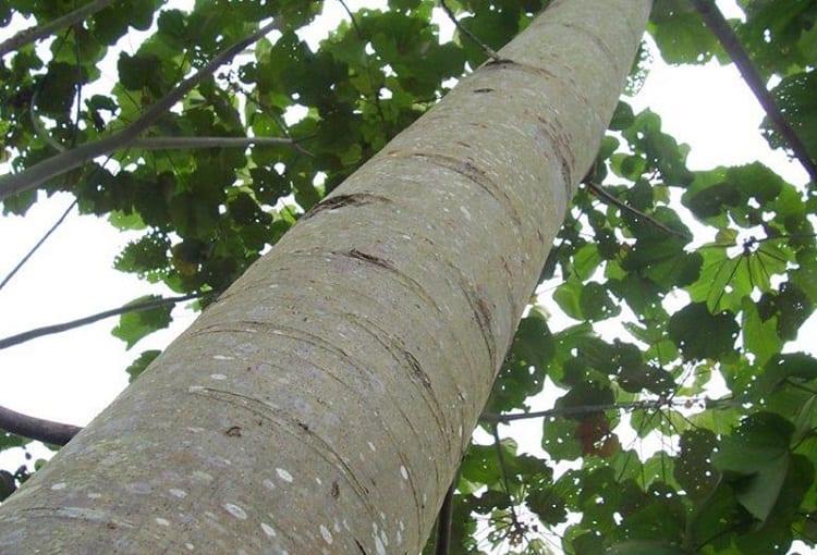 Tree Balsa