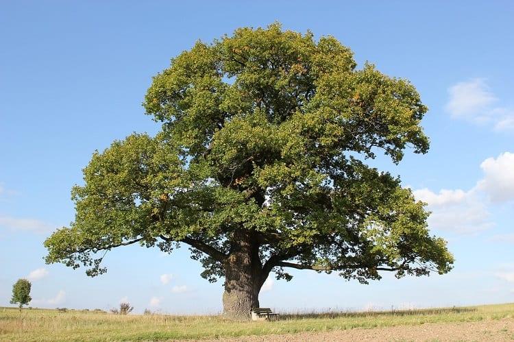Big Oat Tree